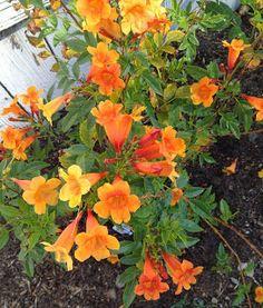 Aprille's SoCal Gardening ✿❀✾: Tecoma & Rose Pruning Total