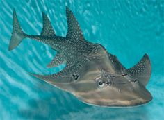 Shark Ray (Rhina ancylostoma), otherwise known as a Bowmouth Guitarfish, a species of ray related to guitarfishes and skates, and the sole member of the family Rhinidae.