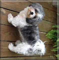 Grown Shih poo Dogs Shih Tzu Poodle Mix, Shih Poo Puppies, Poodle Mix Puppies, Cute Puppies, Cute Dogs, Dogs And Puppies, Puppy Haircut, Grooming Shop, Cute Little Dogs