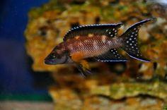 Neolamprologus buescheri Planted Aquarium, Aquarium Fish, Victoria Lake, Cichlid Fish, Lake Tanganyika, Fish Breeding, Cool Fish, Koi Carp, African Cichlids