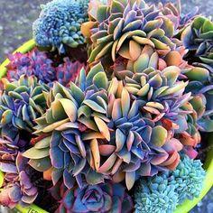 Best-selling 100pcs Japanese Succulents Seeds Rare Indoor Flower Mini Cactus Seeds fleshier plant Polygon flower seeds for sale