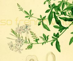 Plumbago antique engraving,1861. Original antique engraving, NOT A COPY. Hand colored. This print is taken from the Dictionnaire Universel d'Histoire Naturelle, a publicati... #orbigny