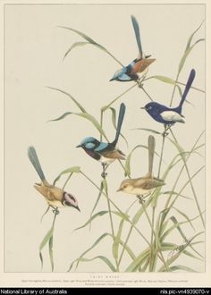 nla.pic-vn4939070  Cayley, Neville W. (Neville William), 1886-1950.  Fairy wrens [picture]  195-? 1 print : photomechanical, col. ; 39 x 29.3 cm. on sheet 48.8 x 35.2 cm.  Part of Gould League collection of prints and watercolours of Australian birds and animals [picture] 1930-1960.