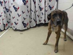 This DOG - ID#A467520 - URGENT - Harris County Animal Shelter in Houston, Texas…