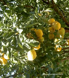 Flor de laranjeira - Flor de Flor de laranjeira Planta medicinal com efeito calmante, ela é utilizada em caso de distúrbios do sono ou tensões nervosas e pode ser encontrada em infusão (chá).laranjeira distúrbios do sono