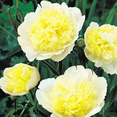 Peony 'Primavere' I only hope mine come up and look this beautiful.