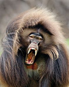 Screaming gelada (Ethiopian baboon):  Adult geladas use a diverse repertoire of vocalizations, thought to near that of humans.  They sit around and chatter at each other.