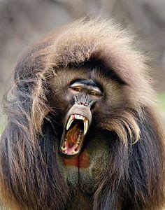 baboon~♥~