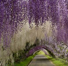The Wisteria Tunnel at Kawachi Fuji Gardens in Kitakyushu, Japan