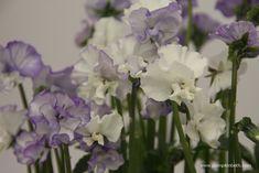 Viola 'Frilly Dilly' Soft Purple, Shades Of Purple, Mauve Color, Colour, Chelsea Flower Show, Salvia, Container Plants, Cut Flowers, Color Change