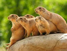 Prairie Dogs assemble.