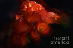 Begonia Canvas Print by Camelia C. All canvas prints are professionally printed, assembled, and shipped within 3 - 4 business days and delivered ready-to-hang on your wall. Choose from multiple print sizes, border colors, and canvas materials. Begonia, Got Print, Stretched Canvas Prints, Canvas Material, Great Artists, Fine Art Photography, Fine Art America, Giclee Print, Canvas Art