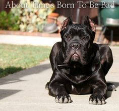 "From ""About Time Cane Corso"""