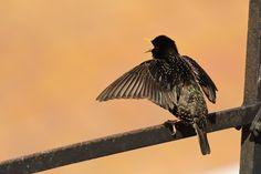 #oiseau #Etourneau sansonnet