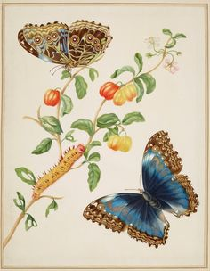 Maria Sibylla Merian (1647-1717) Branch of West Indian Cherry with Achilles Morpho Butterfly 1702-03