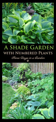 Three Dogs in a Garden: Clematis: What's new + Planting, Support & Pruning The . Three Dogs in a G Shade Shrubs, Shade Garden Plants, Dry Shade Plants, Shade Perennials, Garden Planters, Garden Art, Garden Design, Japanese Painted Fern, Hydrangea Quercifolia