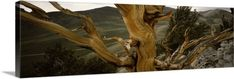 Premium Thick-Wrap Canvas Wall Art Print entitled Close-up of bristlecone pine (Pinus longaeva) tree with mountains in the background, White Mountains, Inyo County, California, None