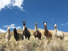 Llamas near Pampalarama, Bolivia