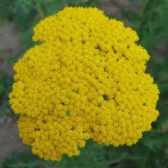 Achillea Coronation Gold Yarrow | Donne plants d'Achillea 'Coronation Gold'.