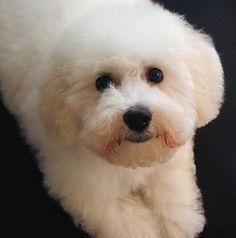 Waiskai the Bichon Frise Pictures Cute Puppies, Cute Dogs, Dogs And Puppies, Doggies, Cute Baby Animals, Animals And Pets, Bichon Dog, Poodle, Coton De Tulear