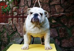 For sale: Bulldog - Male /  Golden-Bull Odysseus