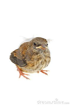 A photo of a baby little sparrow isolated on the white.