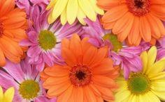 Preview wallpaper gerbera, flowers, petals, colorful, buds, close-up