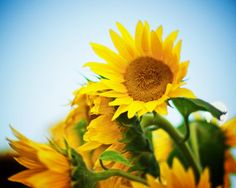 Sunflower Floral Flowers Fine Art Photography Yellow Blue Green Sunny Happy Bright Colorful