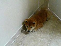 Shiba Inu Scout plays with door stopper