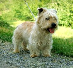 Irish Glen of Imaal Terrier ~ One of the World's Rarest Dog Breeds ~ Spirited, Loyal, Gentle ~ A Rare Irish Dog Breed for St. Patrick's Day Irish Dog Breeds, Dog Breeds List, Rare Dog Breeds, Dog Breeds Pictures, Dog Photos, Dog Pictures, Terrier Breeds, Terrier Dogs, Boston Terrier