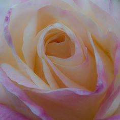 Princess Diana Photograph - The Princess Diana Rose by David Patterson