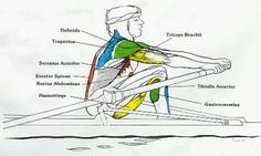 This article is Part 2 of the Rowing Injury Prevention Series. The rib stress fracture is a rowing injury that plagues up to of rowers. Row Row Your Boat, Row Row Row, The Row, Rowing Memes, Rowing Quotes, Rowing Technique, Biceps Femoral, Canoa Kayak, Boys In The Boat
