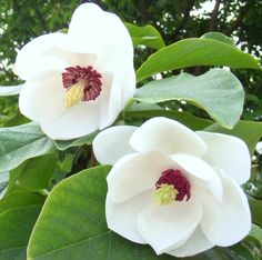 """Oyama Magnolia (Magnolia sieboldii), an excellent small tree magnolia of 10-15 ft. Exceptionally fragrant flowers are white, cup shaped with crimson stamens. Truly the """"ideal"""" magnolia for any home garden. Begins blooming in May, and then sporadically throughout the season."""