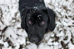 Black Lab...Puppy dog eyes