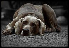 Dogs ... Weimaraner
