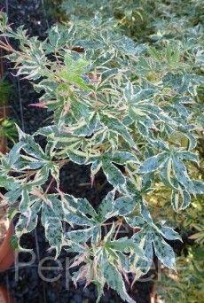 ACER PALMATUM 'BENI SHICHIHENGE' Erable du Japon 'Beni shichiheng L'Acer 'Beni schichihenge' est idéal pour les petits jardins, il est décoratif et élégant. Son feuillage panaché vert-rose puis rouge en automne apporte de la couleur dans les jardins.  Utilisation Utilisation : Il peut être utilisé isolé sur une pelouse ou dans un massif. Hauteur Hauteur : 1,50 m Largeur Largeur : 1 m Température Température : Jusqu'à -20°C Exposition Exposition : De préférence mi-ombre Plantation Plantation…