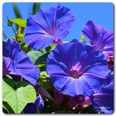 Thinking Spring! #spring #flowers #morningglory