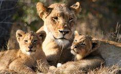 Aslan ile yavruları