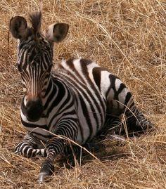 Baby Zebra, Serengeti National Park, Tanzania