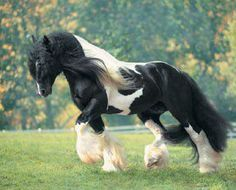 Another picture of a Gypsy Vanner horse.  Can I take him home?