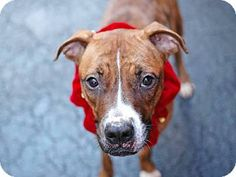 New York, NY - Boxer/Pit Bull Terrier Mix. Meet Celia a Dog for Adoption.