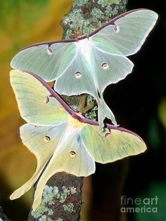 Luna Moths Photograph - Luna Moths Fine Art Print Phil and I first saw these beautiful creatures when we first moved to the country from the city. Beautiful Bugs, Beautiful Butterflies, Amazing Nature, Papillon Butterfly, Butterfly Wings, Cool Insects, Bugs And Insects, Beautiful Creatures, Animals Beautiful