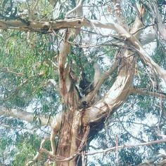 #towerhill #Australia #Victoria #countrylife #tree #gumtree #native #nature #koala #warrnambool #portfairy by sh86mummalette http://ift.tt/1UokfWI