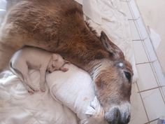 The immobilized donkey soon attracted the attention of another animal under Rodrigues's care — a little white puppy she'd found as a stray.  Perhaps for the first time in his life, Guerreirinho has found a friend, a sweet companion to comfort him through the tough journey that lies ahead.