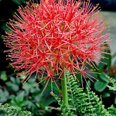 2x Puderquaste rot kaufen | Bakker.com Dandelion, Herbs, Flowers, Plants, Watering Plants, Powder Puff, Potting Soil, Cut Flowers, Branches