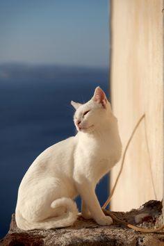 Cats of Santorini Island, Greece