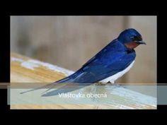 Ptáci České republiky, Pěvci - YouTube