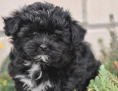 Lovely Havanese and Maltese dog breed hybrids of the Zobelzwergen pictures Havanese Maltese Mix Puppies