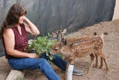 2013 orphaned and injured fawns enjoying leafy treats