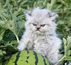 angry cat with a watermelon.